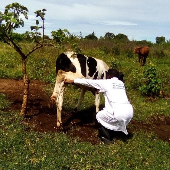 cow foot disease