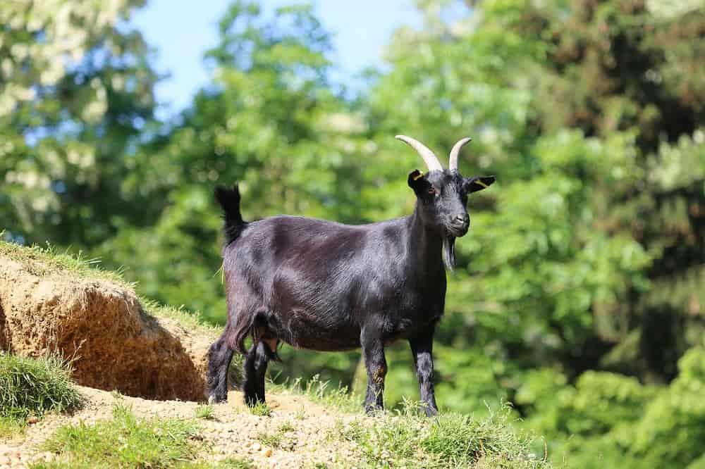 Fighting Livestock Allergies